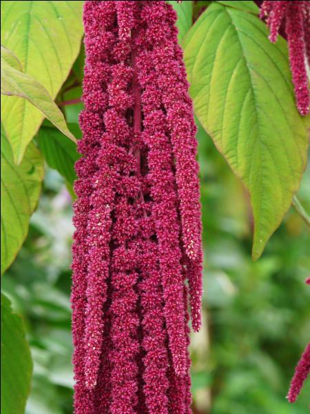 Quelle est cette plante appelée aussi queue de renard ?