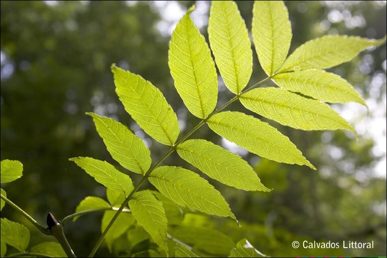 À quel arbre appartiennent ces feuilles ?