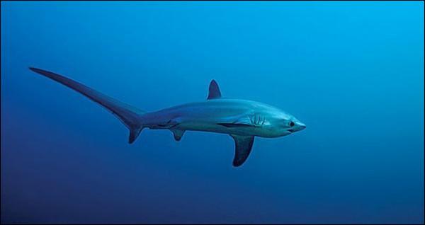 """Je ne préciserai pas quand il y aura des questions QCM.Quel est ce requin dont le nom scientifique est """"Alopias"""", qui pèse environ 200 kg et mesure 4,5 à 6 m ?"""