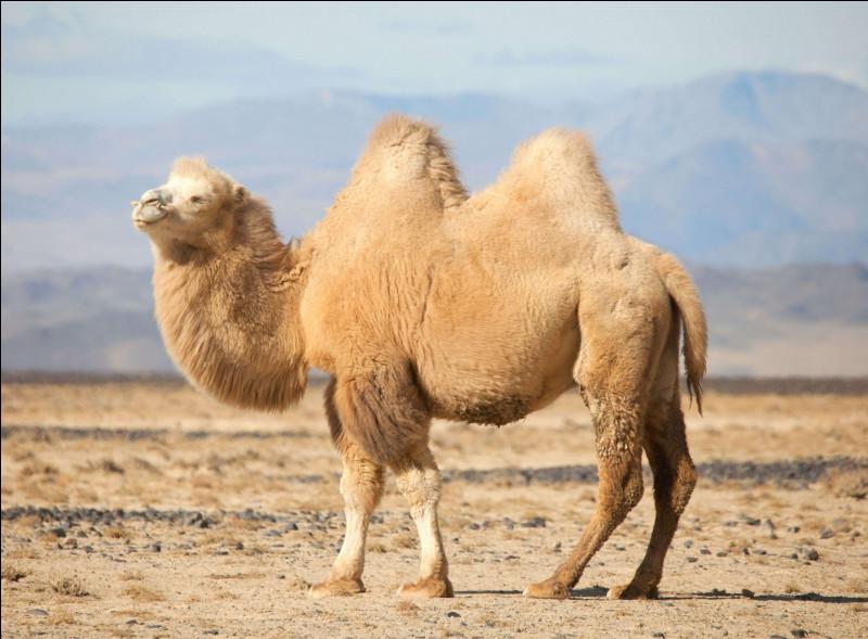 Et cet animal là, à deux bosses qui vit dans le désert, qui pèse jusqu'à 450 kilogrammes et qui peut porter jusqu'à 300 kilogrammes de marchandises, coûtant 8 yacks ?