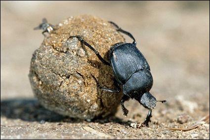Comment s'appelle le coléoptère qui pousse une boule plus grosse que lui ?