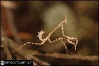 Ce bel insecte vit dans le sud de la France. Il possède plusieurs appellations :