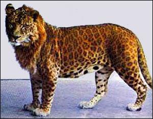 Ce félin hybride est issu du croisement entre un léopard mâle et une lionne. Quel est son nom ?