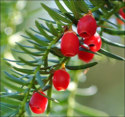 Magnifique fruit très apprécié des oiseaux, l'arbre est néanmoins très toxique. La partie rouge du fruit est toutefois comestible pour l'homme. C'est :