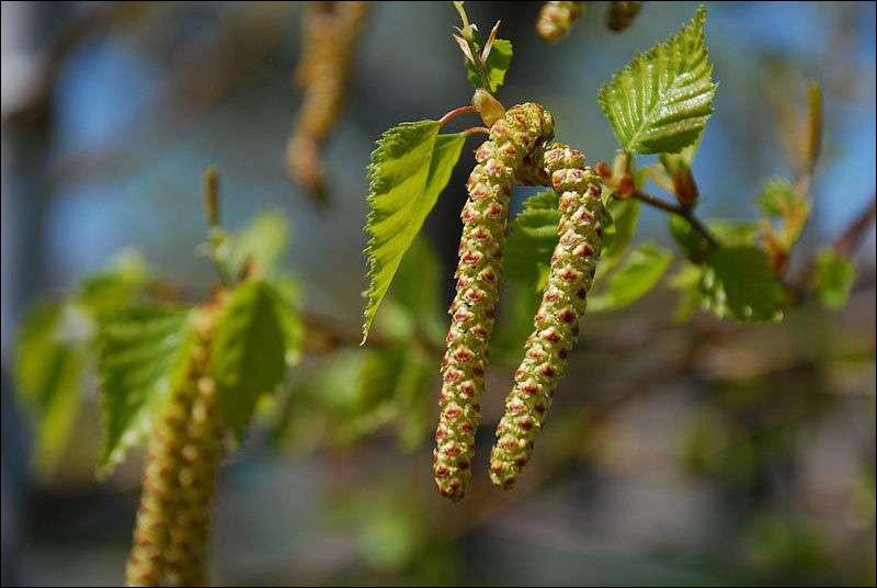 Dans cet arbre, tout est bon sauf le fruit ! Son écorce, ses feuilles sont utilisées en phytothérapie. Sa sève peut être récoltée et consommée. Vous avez reconnu :