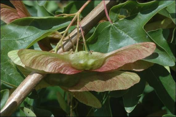"""On les appelle """"les hélicoptères"""" et il s'agit des fruits d'un arbre commun que l'on trouve souvent dans nos campagnes. Il est très répandu et parmi ces espèces, on trouve le champêtre, l'argenté ou encore celui qui donne du sirop. Il s'agit des fruits ... ?"""