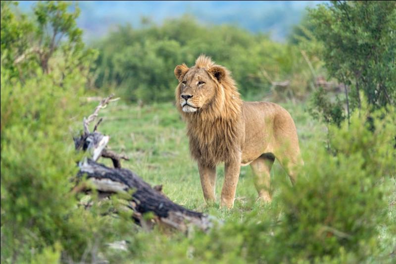 Que protègeraient les lions ?