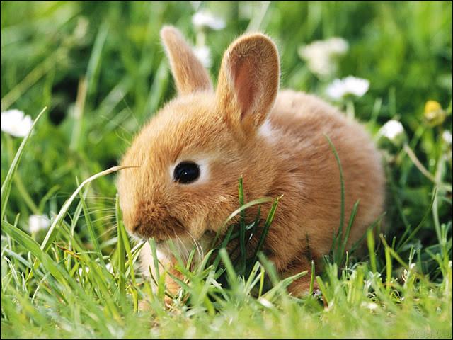 Le lapin est plutôt le symbole :