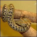 Quelle longueur peut atteindre l'anaconda ?