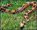 De quel serpent le constrictor est-il une espèce ?