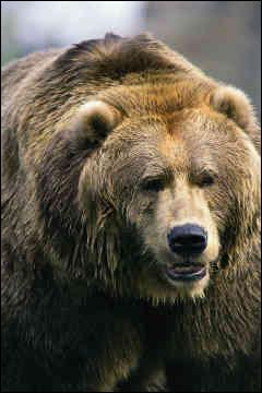 Qui aime le grizzly ?