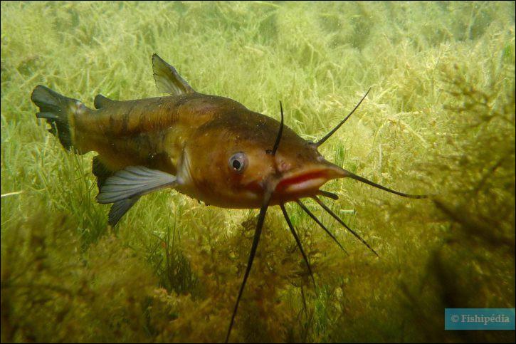 En parlant de poissons, celui-ci, par exemple, est un poisson-...