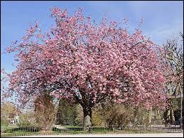 Quel est le nom de cet arbre qui fleurit durant le printemps ?