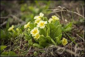 Comment se nomme cette fleur qui est l'une des premières à fleurir au printemps ?