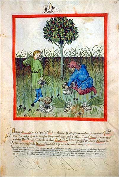 """Ce quiz étant censé être """"botanique"""", reprenons nos pots... Le genre « allium » (de Linné, 1753) comporte plusieurs """"taxons"""" : taxons-le justement ! Lequel est comestible ?"""