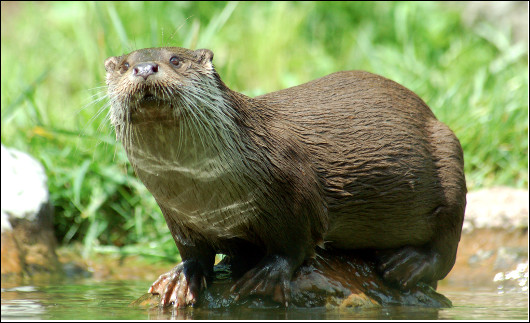 Quel est ce mammifère piscivore avec de courtes pattes et des doigts griffus et palmés, vivant en milieu aquatique ?