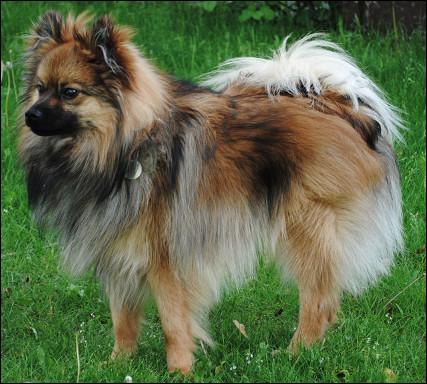 Quel est cette race de chien miniature affectueux et bon chien de garde malgré sa petite taille ?