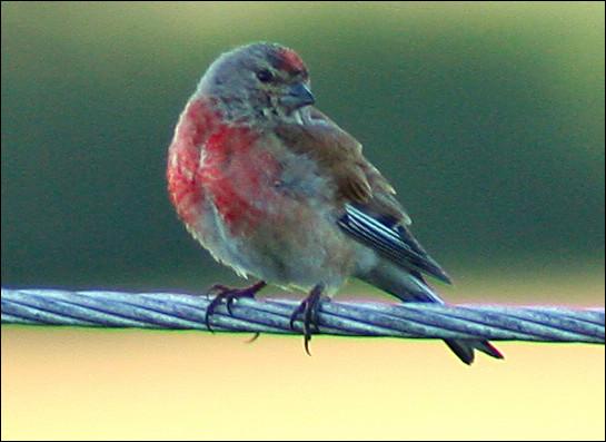 Quel est ce petit passereau granivore au plumage gris ornementé de rouge carmin ?