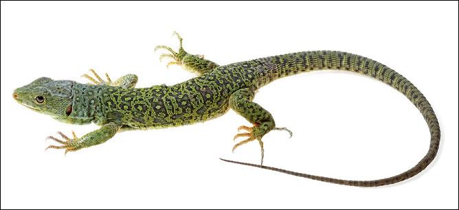 Quel est ce petit reptile saurien très agile à quatre pattes et à longue queue ?