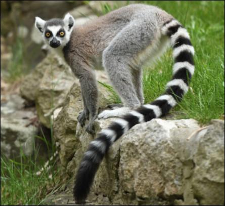 Quel est cet animal de petit gabarit, endémique de l'île de Madagascar avec une petite tête et une longue queue ?