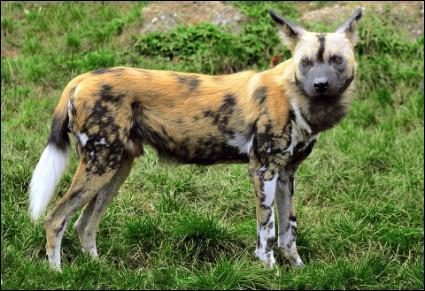 Quel est ce mammifère carnivore de la famille des canidés, vivant en Afrique dans les steppes et les savanes ?