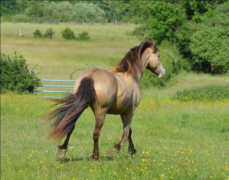 Quelles caractéristiques voit-on sur le cheval qui a le gène champagne ?