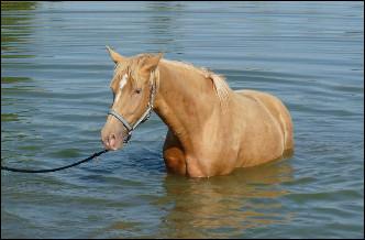 Le cheval champagne or est de base...