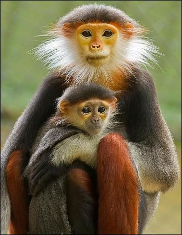 Petits singes de l'Asie du Sud-Est :
