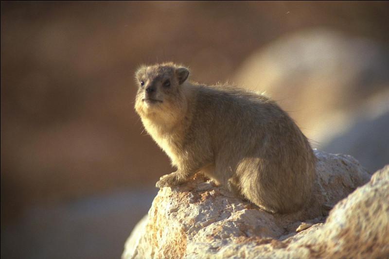 Petit mammifère vivant au Moyen-Orient et en Afrique :