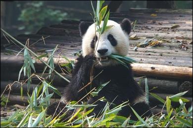 Que mange principalement le panda géant ?