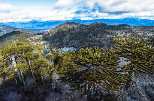 """Ces araucarias - ou """"désespoirs du singe"""" du sud du Chili atteignent jusqu'à 40 m de haut. Phonétiquement, on dit d'eux : """"demilan"""" ! Pourquoi ?"""