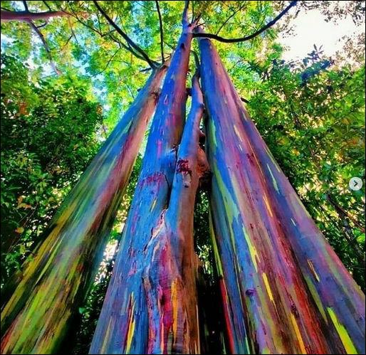 Ces eucalyptus n'ont pas été retouchés, ni peints ! Originaires des Philippines, on les trouve sur l'île d'Hawaï. Chut ! Écoutez, on entend dans la vallée chanter la tribu d'/de...