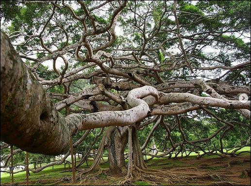 Cette forêt de 3 300 troncs de banians du Bengale s'étendant sur 1,2 ha a quelque chose de bien particulier : quoi donc ?