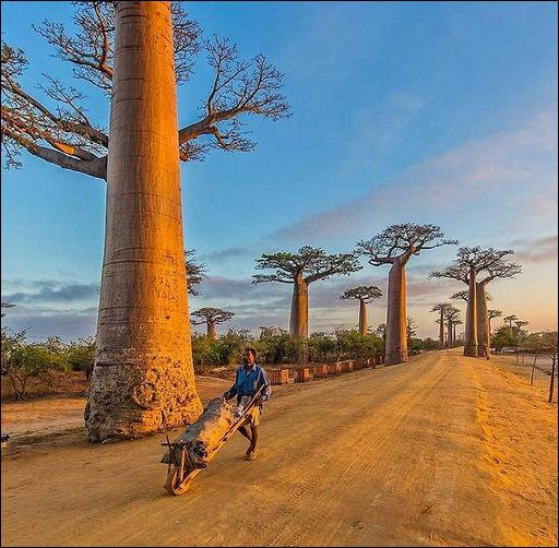 Ces baobab géants de 800 ans de l'île ..., vestiges de la forêt primaire, ont pour l'instant une autre fonction, primaire elle aussi : laquelle ?