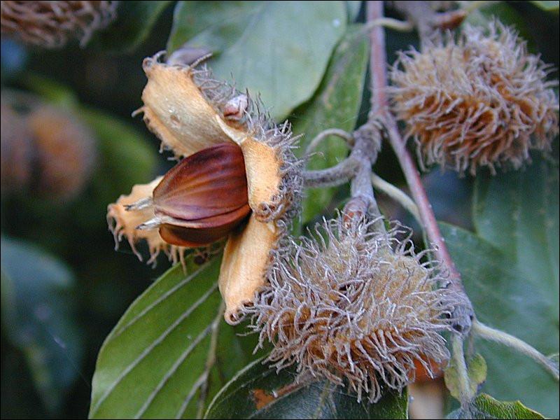 Fruit du hêtre :