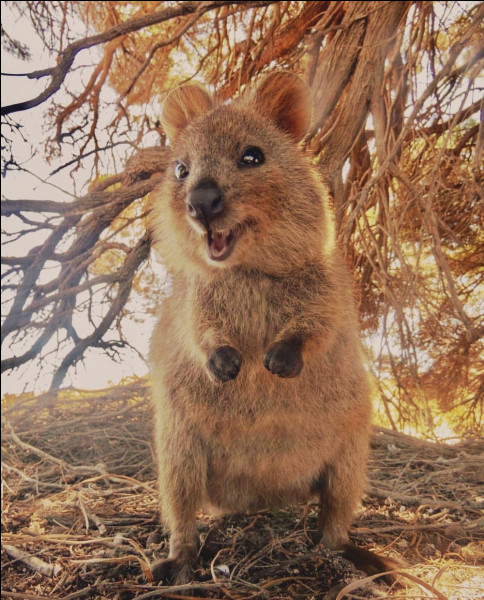 Animaux : quel petit marsupial a été surnommé par les Australiens l'animal le plus heureux du monde en raison du sourire qu'il semble afficher en permanence ?