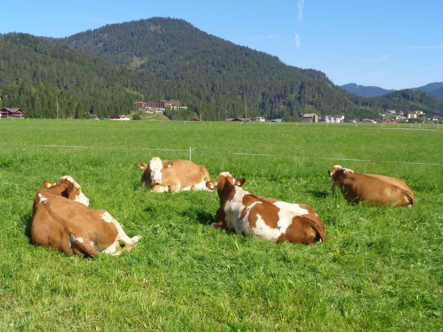 Un quiz vache