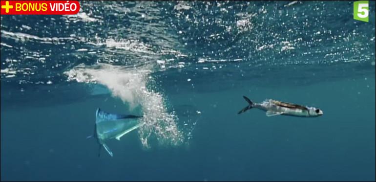 Vous n'allez pas me croire mais certains poissons peuvent voler !