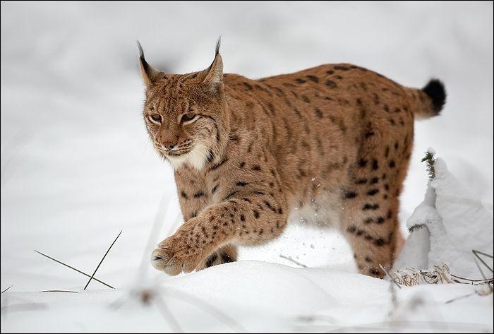 Cet animal est un loup-cervier !