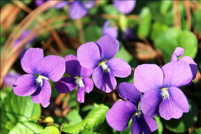 Quelle est la couleur de ces violettes ?