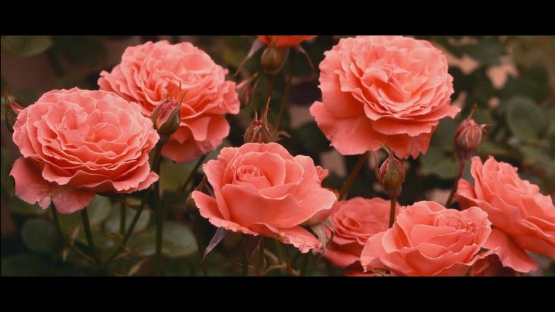 Quelle est la couleur de ces roses ?