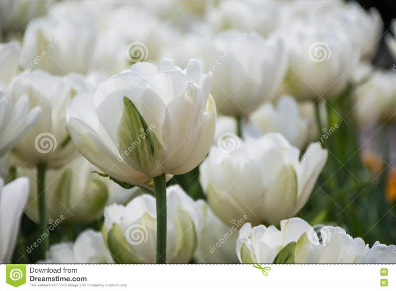 Quelle est la couleur de ces tulipes ?