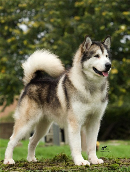 Ce magnifique chien est un...