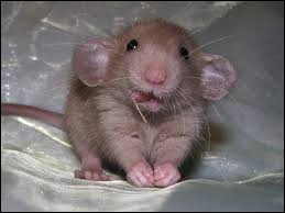Les rats sont-ils propres ?