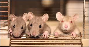 Comment sont les rats ?