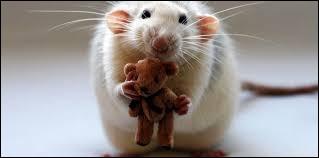 À quels problèmes de santé, le rat est-il le plus vulnérable ?