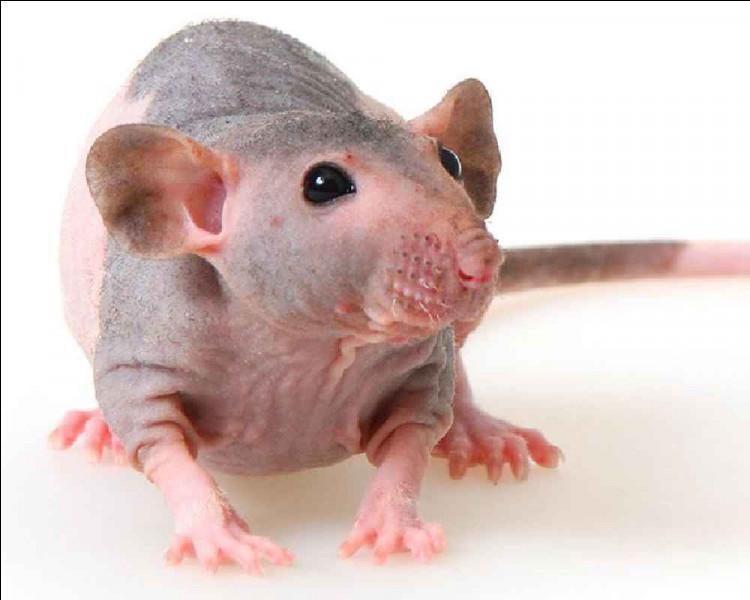 Les rats sont-ils curieux ?