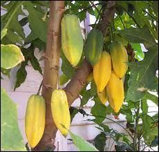 Quel est le nom de cet arbre fruitier ?