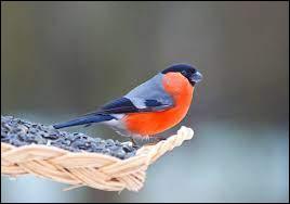 Il vit et se nourrit en couple, à la lisière d'un bois ou d'une haie. Quel est cet oiseau ?