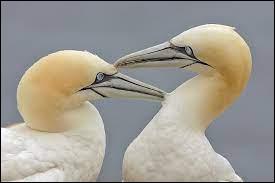 Il est le plus gros des oiseaux de mer d'Europe.